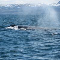 Islandia 2012 relacja z podróży część 3 (czyli zakończone sukcesem polowanie na wieloryby i maskonury + dotarliśmy prawie na koło podbiegunowe + objazd okolic Akureyri + powrót do Reykjaviku)