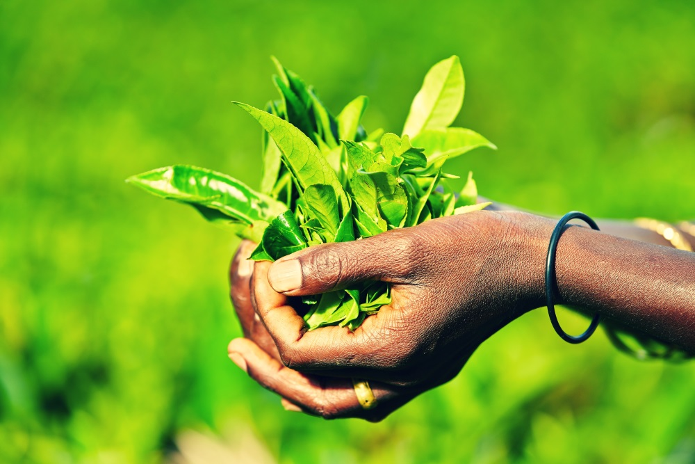 Sri Lanka Sri-Lanka-herbata-rece-Depositphotos_44638041_original-1000x667px